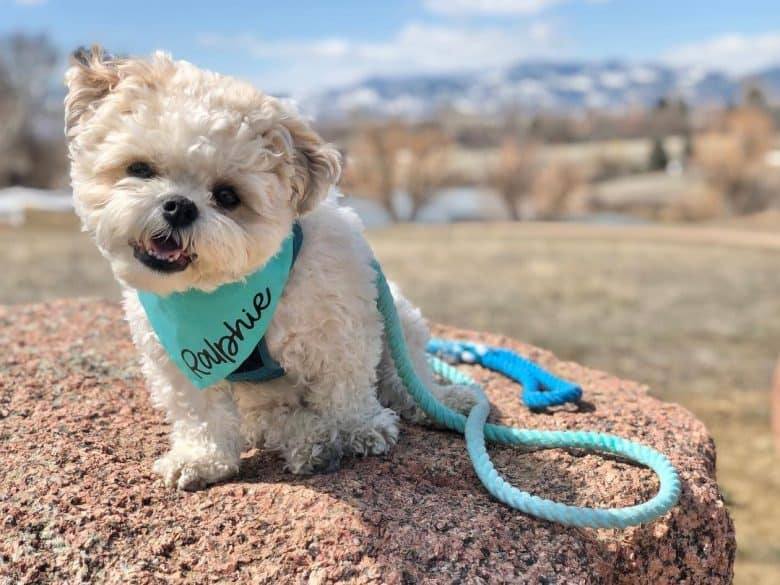 a Zuchon wearing a light blue scarf with light blue leash