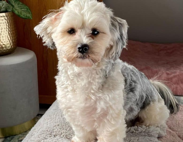 a curly black and white Yorkie Aspo mix sitting on furry blanket