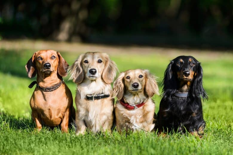 Four Sausage dogs with different colors