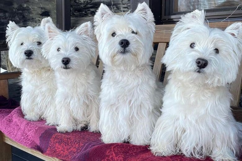 Four beautiful West Highland White Terrier dogs