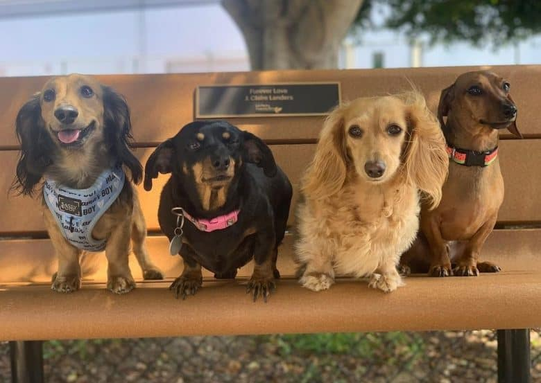 Four Doxie sitting on a park bench