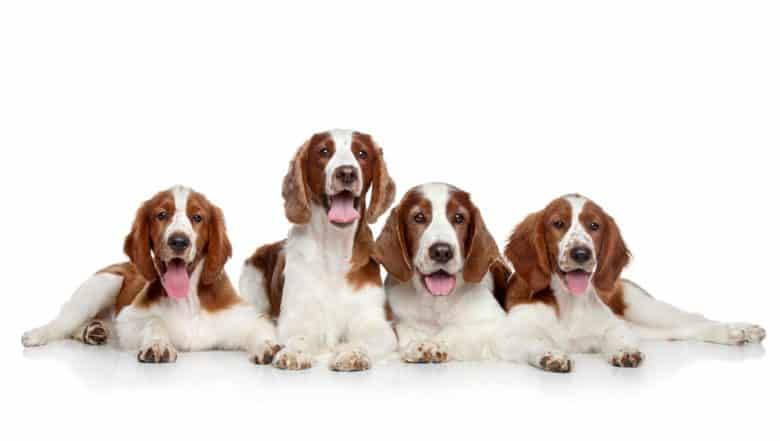 four Welsh Springer Spaniel laying happily