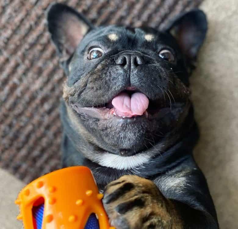 Funny French Bulldog playing