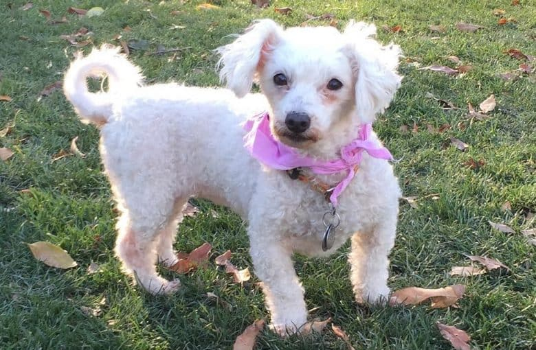 a curly-haired Senior Maltipoo standing on grass