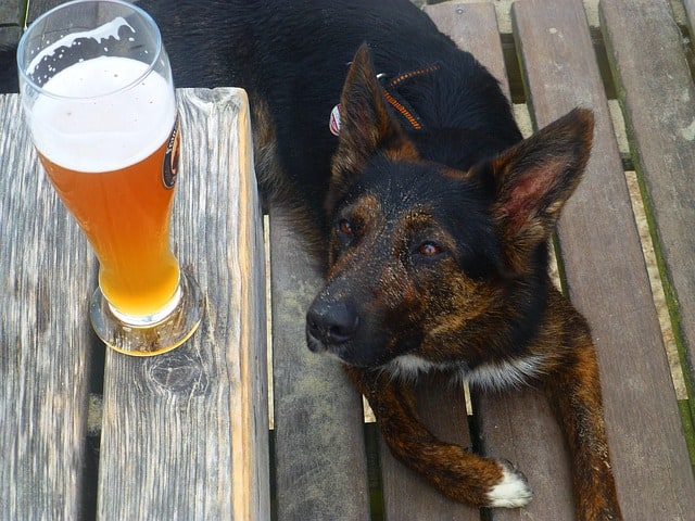 an adorable German dog looking at a pint of beer