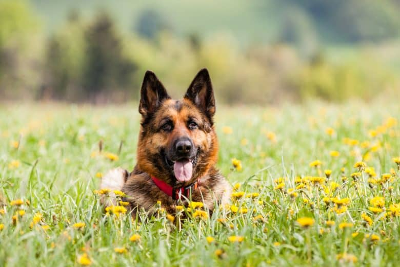 a smiling GSD lying on a flower field
