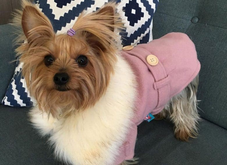 Girly Yorkshire Terrier wearing pink outfit