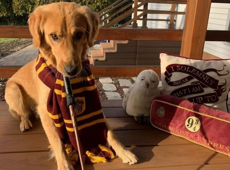 a Golden Retriever puppy with a Gryffindor scarf and a wand
