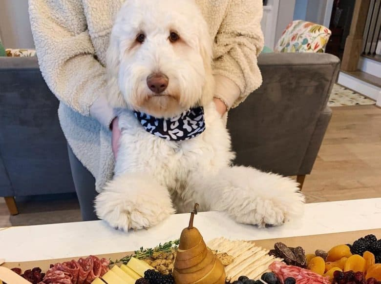 a Goldendoodle gazing at a grazing table
