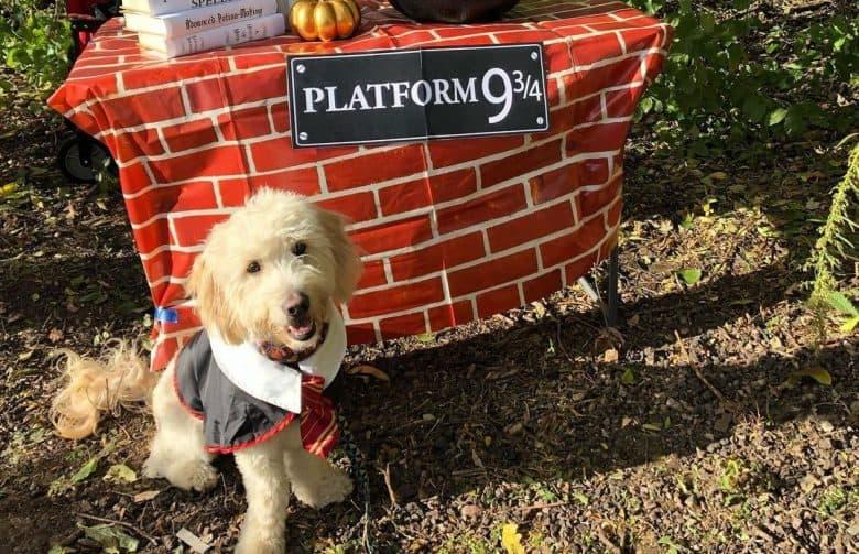 a Goldendoodle wearing Harry Potter uniform