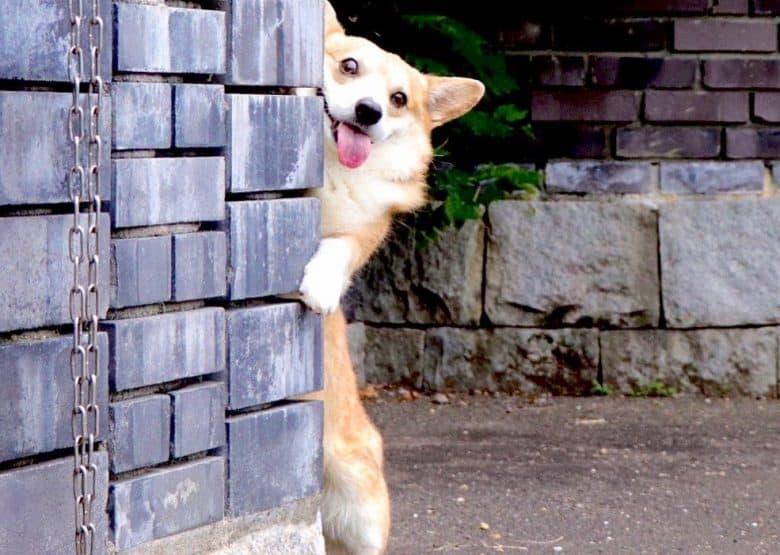 A silly Corgi peeking behind a brick wall
