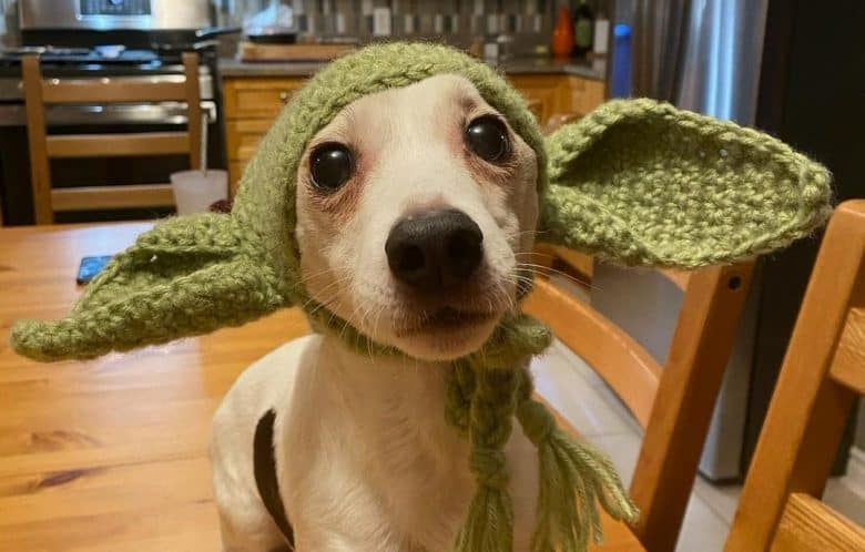 a Jack Russell Terrier with adorable knitted ears