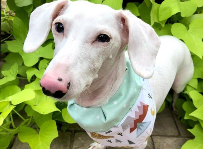 an Albino Dachshund wearing an adorable scarf while standing in the middle of a garden