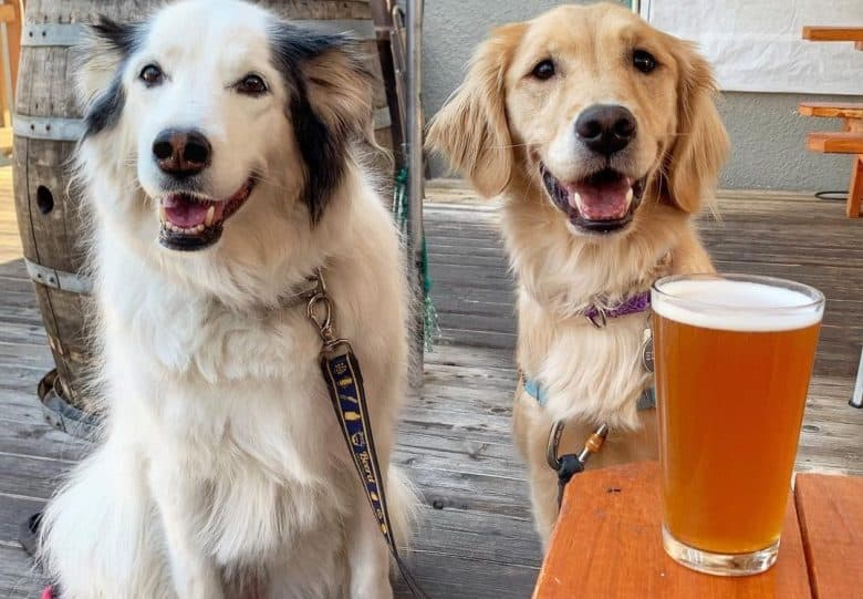 a Collie mix and Retriever sitting happily while enjoying a day out