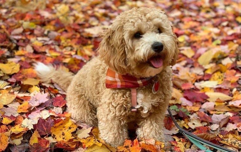 A tiny Bichon Poo sitting on fall leaves