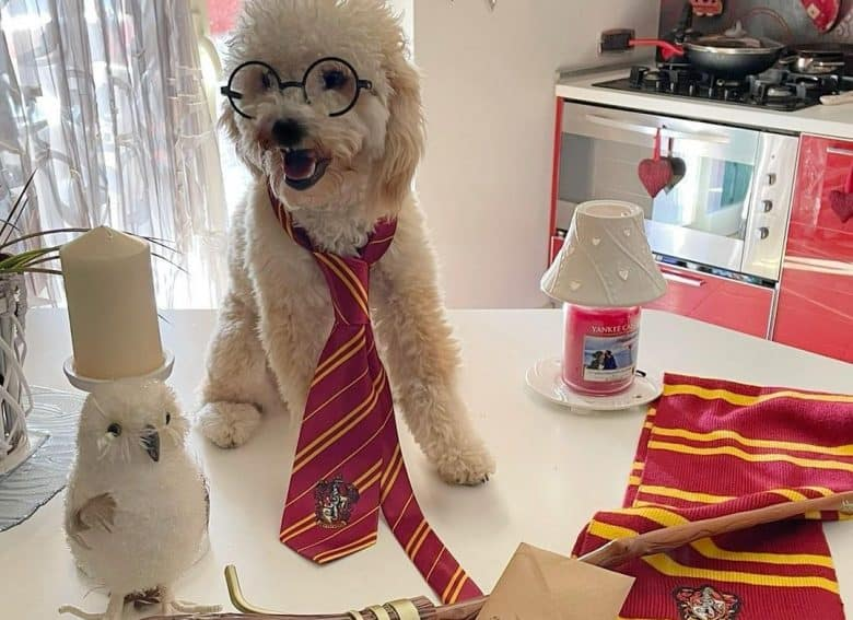 a Poodle wearing a Gryffindor tie
