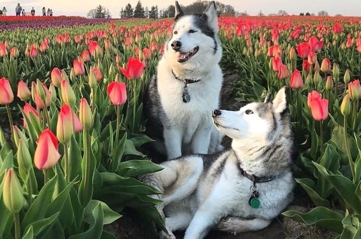 two Huskies in the middle of a tulip field