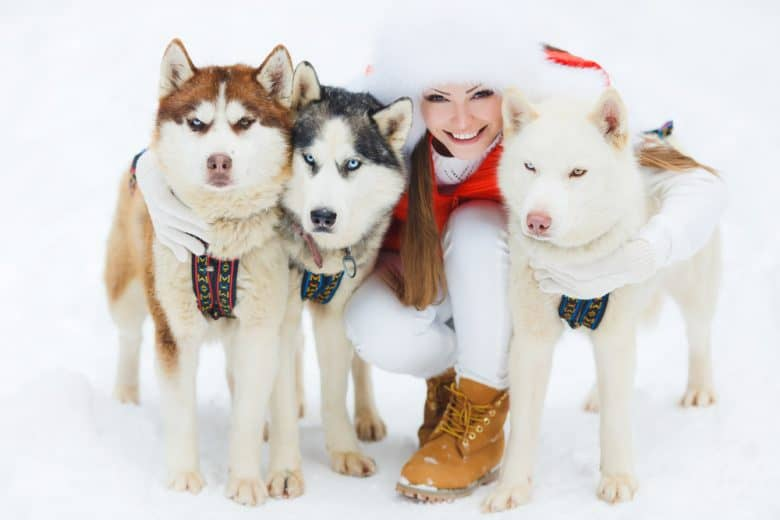 three Siberian Huskies with a woman wearing Christmas outfit