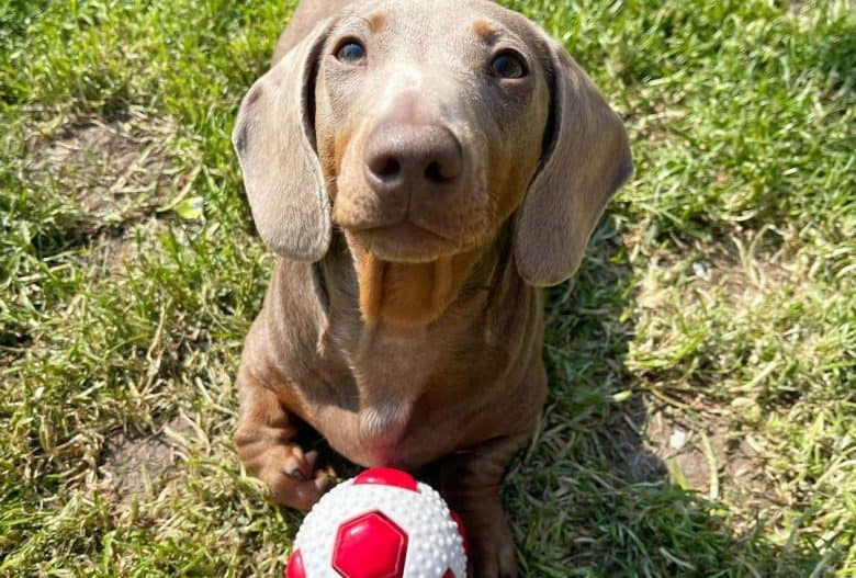 an Isabella and Tan Dachshund with a red and white ball