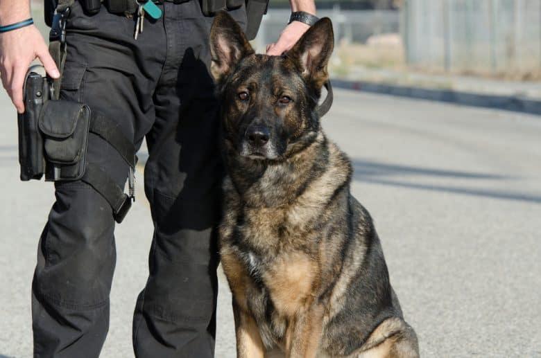 a German Shepherd sitting near a cop