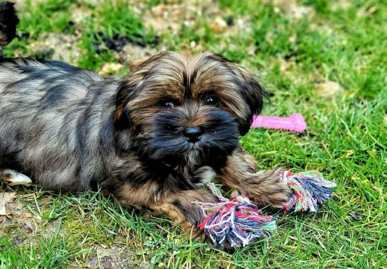a Lhasa Apso puppy laying on grass
