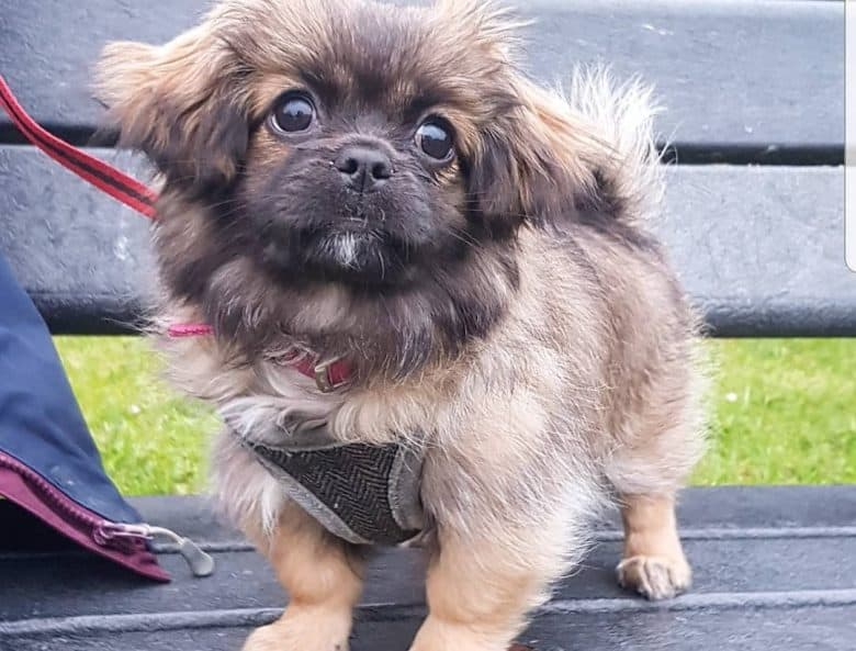 a Lhasanese puppy wearing a harness and standing on a bench