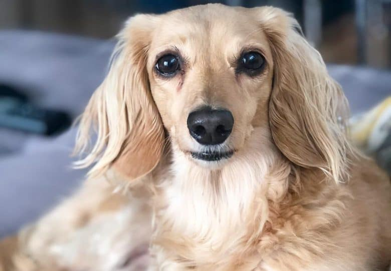 a Longhair Dachshund comfortably laying on a couch
