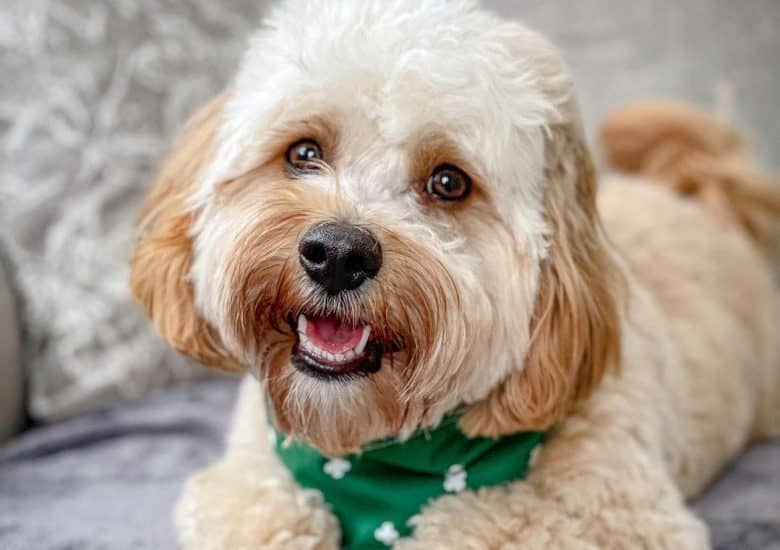an adorable Cavachon wearing a green scarf smiling
