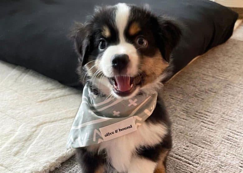Lovely Australian Shepherd puppy wearing a scarf