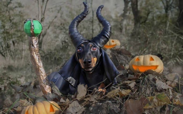 a Doxie wearing a horn with a wand and pumpkins