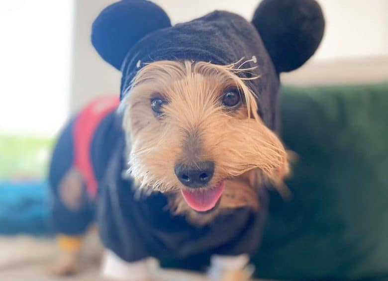 a Yorkshire Terrier wearing Mickey Mouse costume