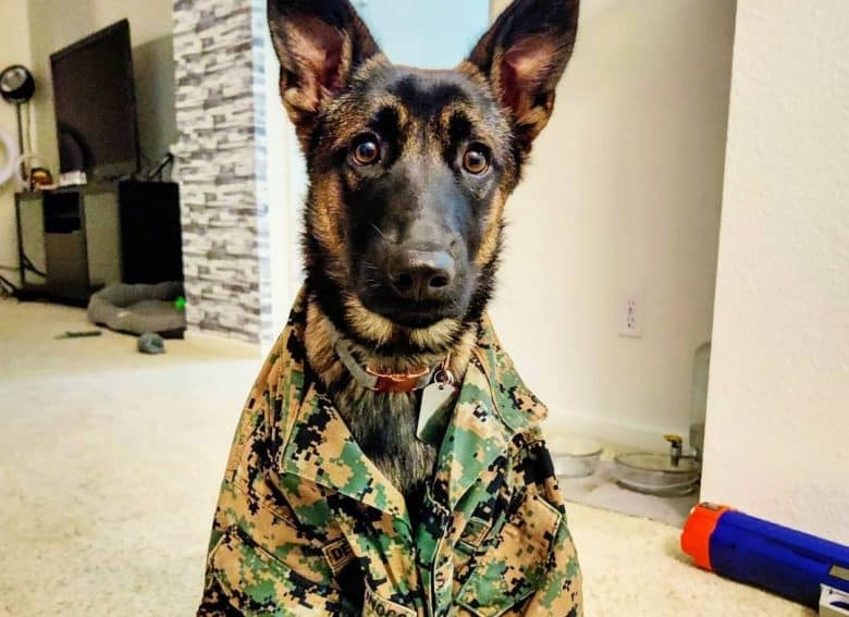 a Belgian Malinois puppy sitting while wearing a military uniform