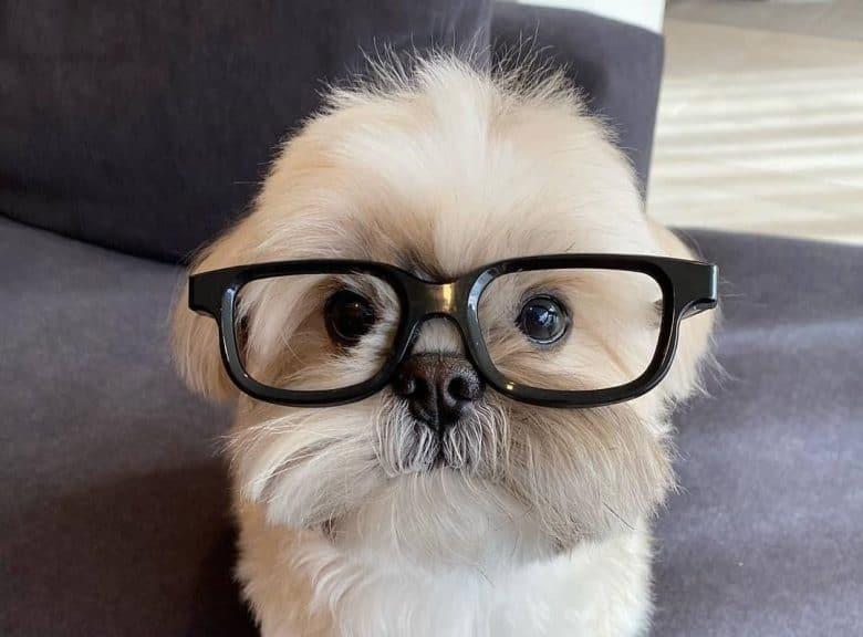 A nerdy Shih Tzu