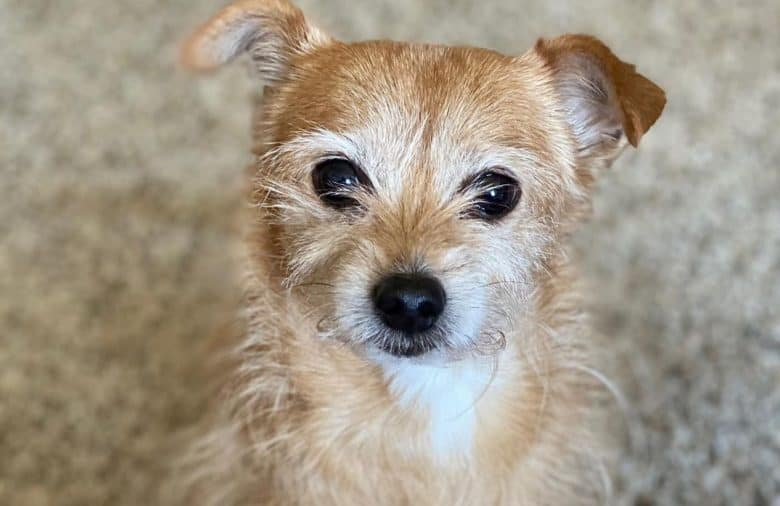 close-up of a cute Norfolk Terrier Chihuahua