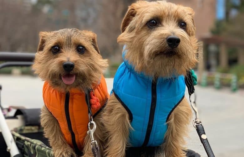 Two Norfolk Terriers wearing cute jackets while riding a stroller