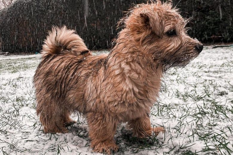 Norfolk Terrier puppy drenched with snow