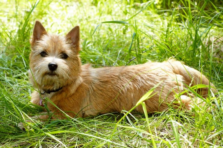 a Norwich Terrier laying on tall grass