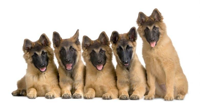 five Belgian Tervuren puppies sitting adorably