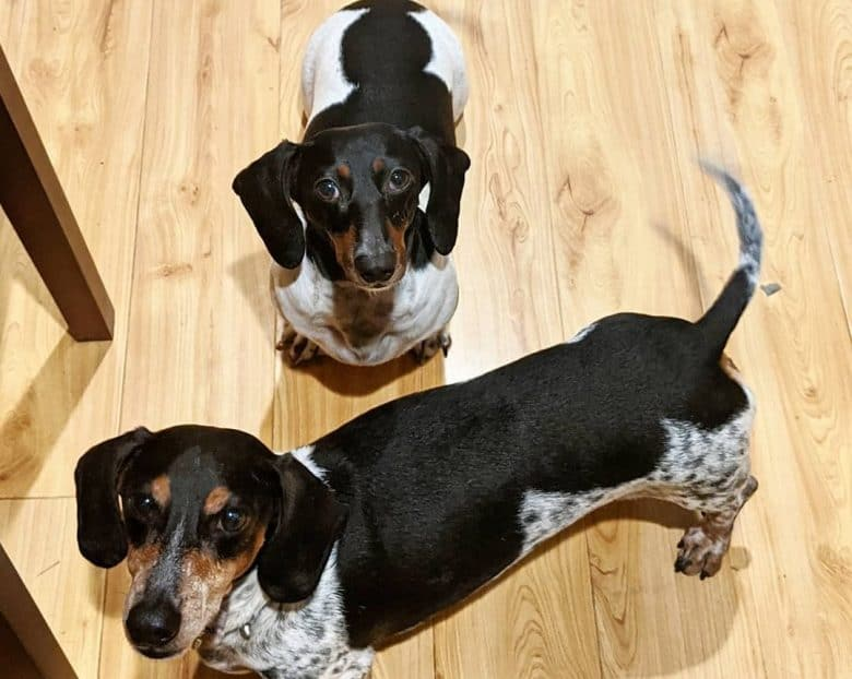 Two Piebald Dachshund standing on a wooden floor and looking up