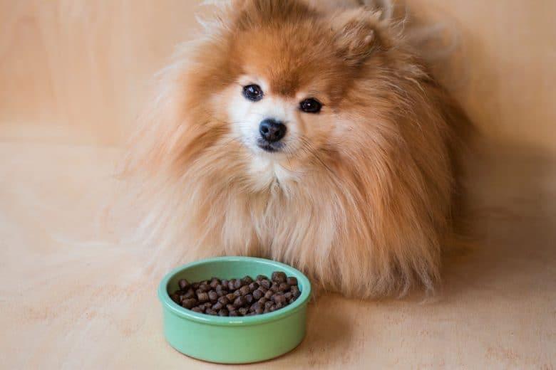 Pomeranian Spitz dog eating dry food in a ceramic bowl