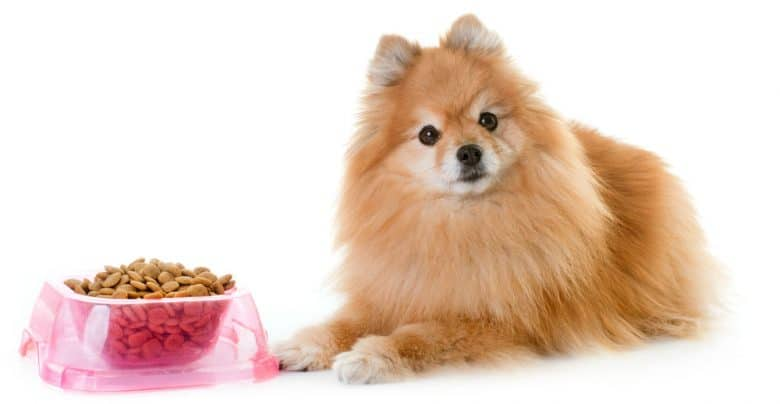 Pomeranian Spitz with the dry dog food in glossy pink bowl