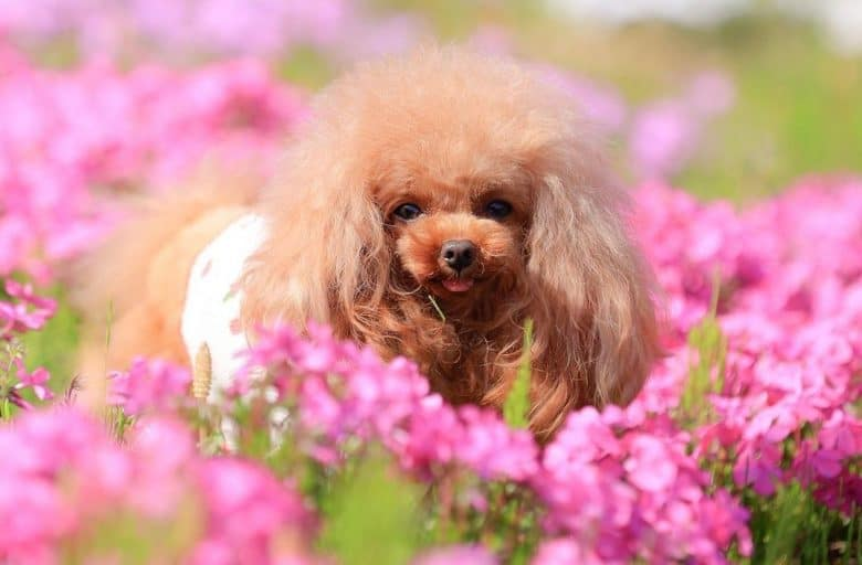 a pretty Teacup Poodle laying on a garden with pink flowers