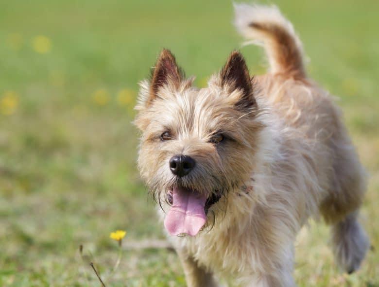 a light brown Cairn Terrier running