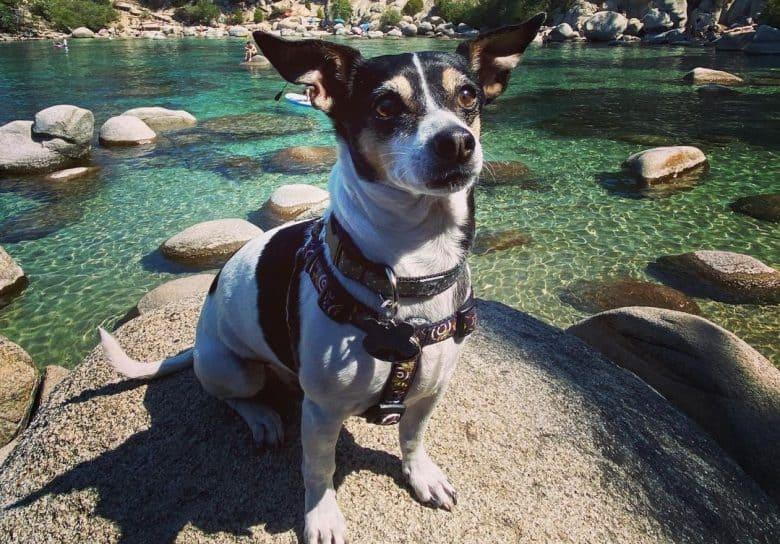 a Ratchua Terrier sitting on a rock with the lake behind
