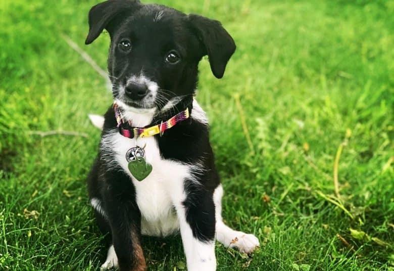 a Ratterrier Aussie puppy sitting with head tilt