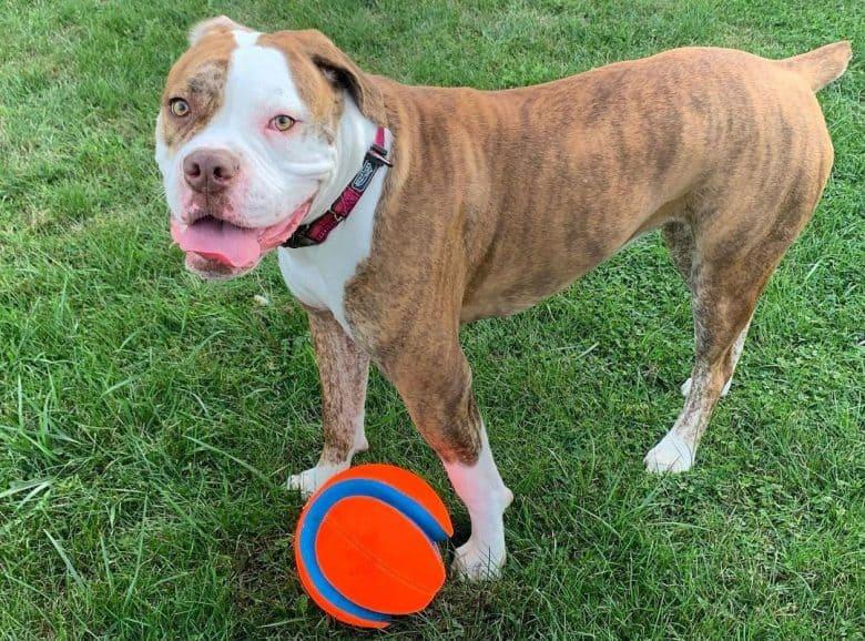 Red-Tiger Bulldog playing a ball outside