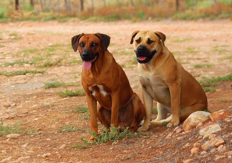 a Rhodesian Ridgeback and Boerboel sitting on a dirt field