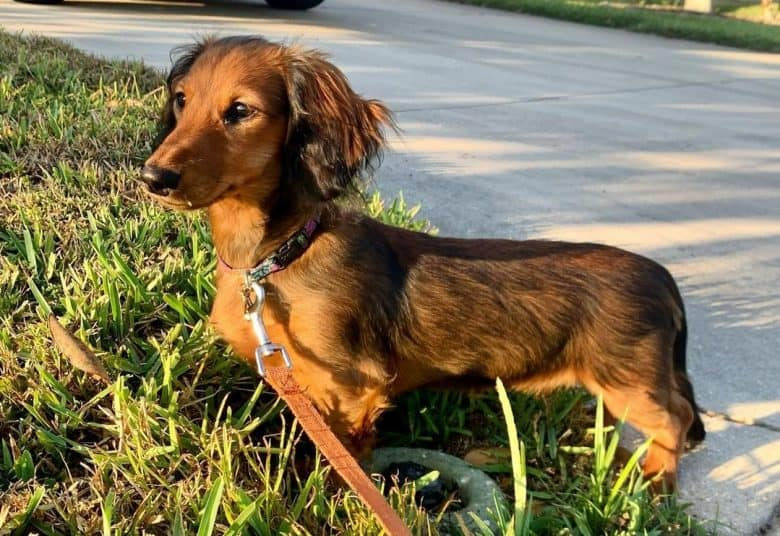 A Sable Longhaired Dachshund standing beside a driveway