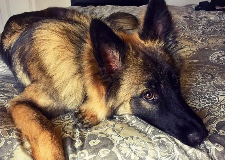 a Belgian Tervuren laying on a bed