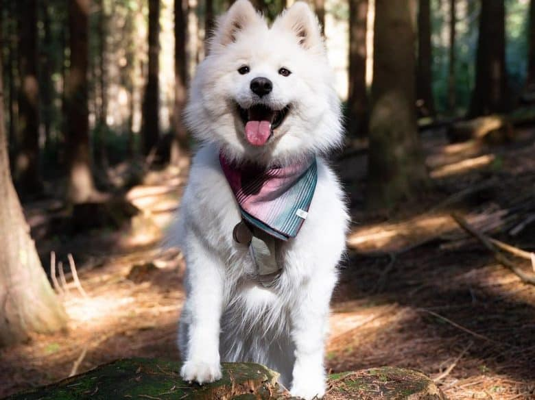 a happy Samoyed standing in a forest